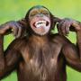 icon Talking Funny Monkey Live Wallpaper