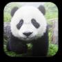 icon Panda Video Wallpaper