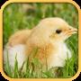 icon Real Chicken Simulator